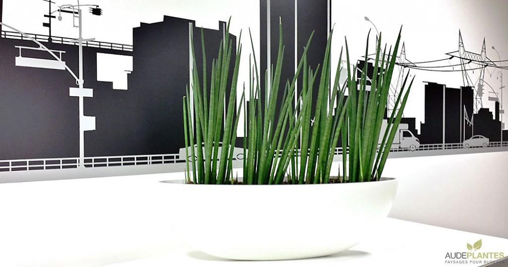plantes d'intérieur Le sansevieria